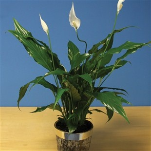 Surprise your friends or family with this beautiful Spathiphyllum Peace Lily, planter included.