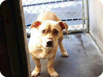 Mesa, AZ - Pembroke Welsh Corgi/Basset Hound Mix. Meet SPUMONI, a dog for adoption. http://www.adoptapet.com/pet/14434884-mesa-arizona-pembroke-welsh-corgi-mix