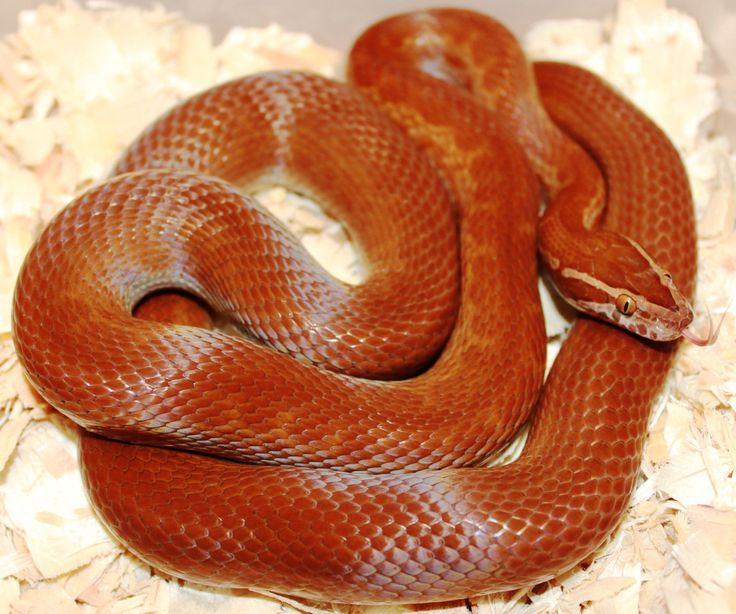 California Mountain King Snake - CuriOdyssey
