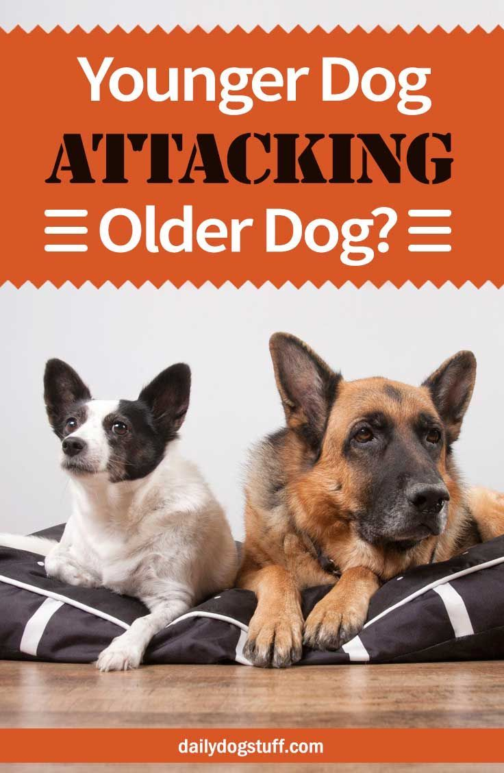 Younger Dog Attacking Older Dog 7 Possible Reasons Dog Attack