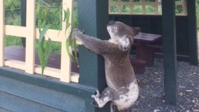 Koala Ini Ditemukan Mematung di Sebuah Tiang Kayu, Saat Didekati, Ada Paku Menancap di Tubuhnya!
