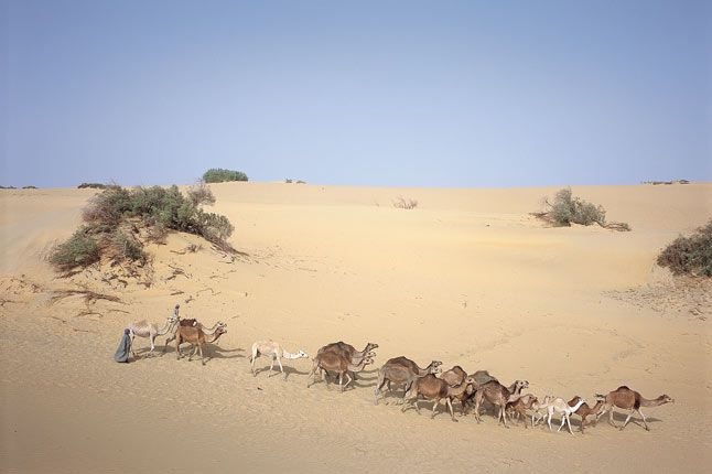 Bedouin and camels at Dakhla, Egypt.
