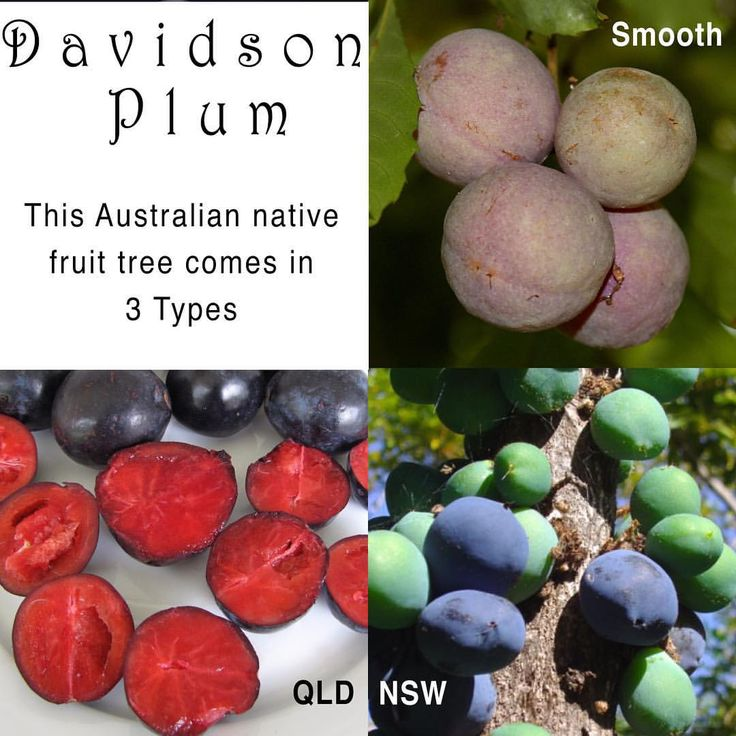 The Davidson Plum comes in 3 types.  QLD: small tree suitable for the indoors or office. NSW : Striking purple edible fruits.  Smooth: Endangered species native to the Tweed.  Many people love it as a fruit for jam making.  #DavidsonPlum #australianNatives #fruittrees #gardeningaustralia #daleysfruit