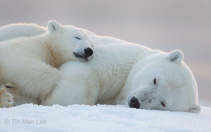 Goodnite Polar Bears by Tin Man on 500px