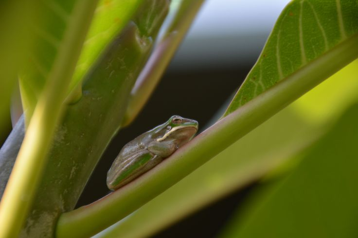 Eastern Sedgefrog - Seen 4/6/14.  Tiny frog 25mm long that lives on our Frangipani tree.