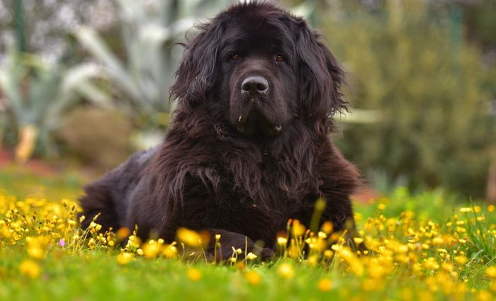 Newfoundland Dog Names Easy To Follow Guide And Expert S Advice Dog Breeds Low Maintenance Dog Breeds Family Dogs Breeds
