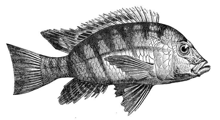 barracuda fish drawing - Pesquisa Google
