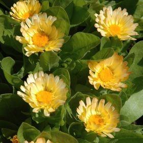 RINGBLOMMA 'Apricot Daisy' i gruppen Ettåriga blomsterväxter hos Impecta Fröhandel (8199)