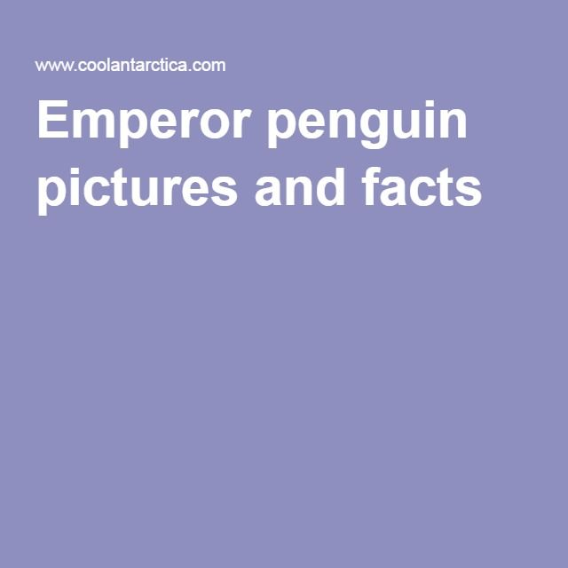 Emperor penguin pictures and facts