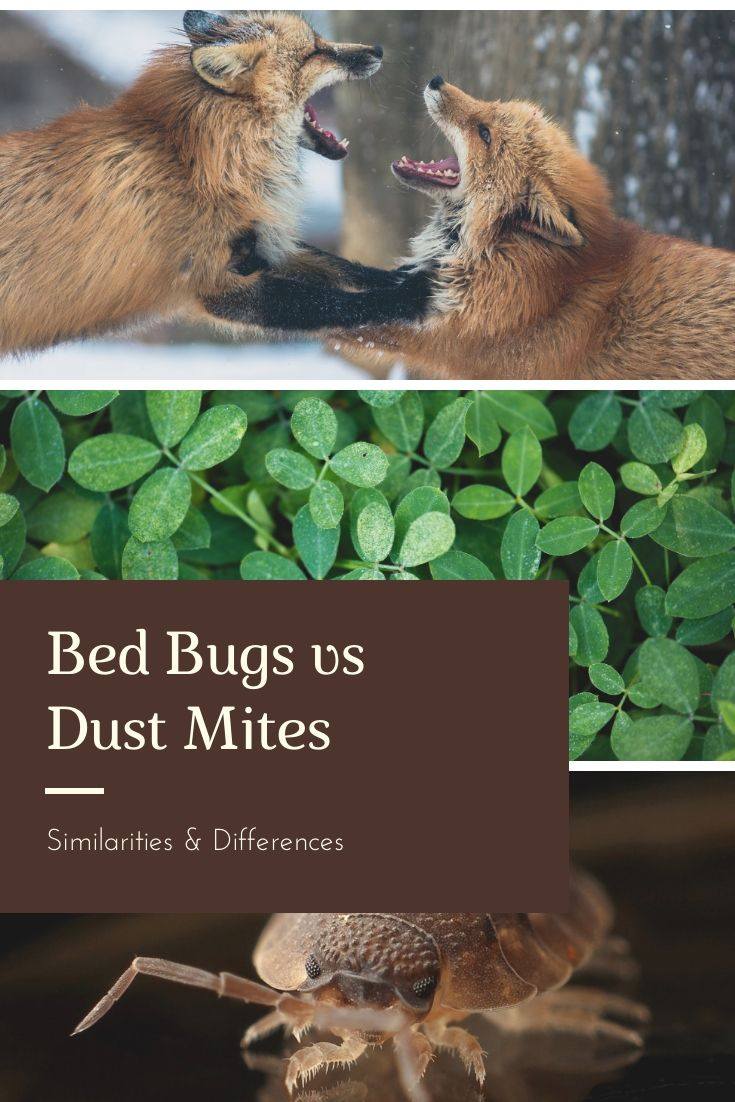 Bed Bugs vs Dust Mites Pest Survival Guide in 2020 Bed