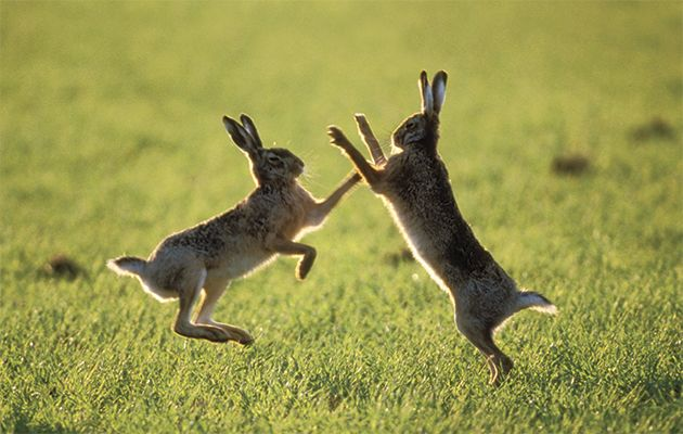 Hare mythology.