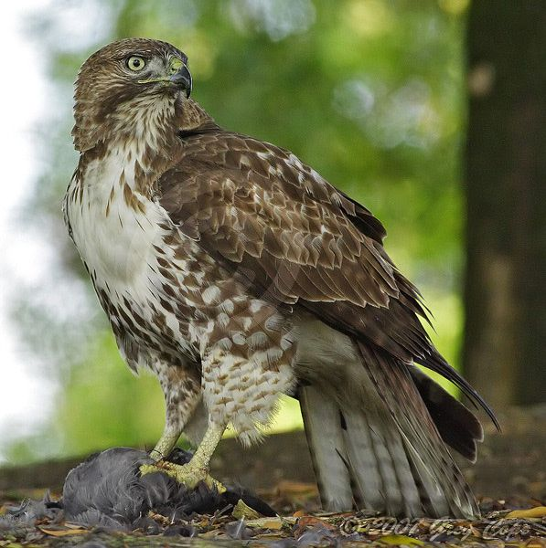 Red-Tailed Hawk - see these all the time.  We once watched one standing in the grass with his kill-- a black squirrel.  That's some Wild Kingdom right there!