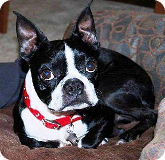 Huntington Beach, CA - Boston Terrier. Meet Curly, a dog for adoption. http://www.adoptapet.com/pet/12316553-huntington-beach-california-boston-terrier