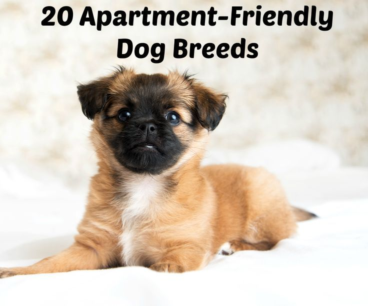 Best Small Breed Dog For Apartment Living