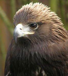 Pygar Golden eagle at OWLRehab