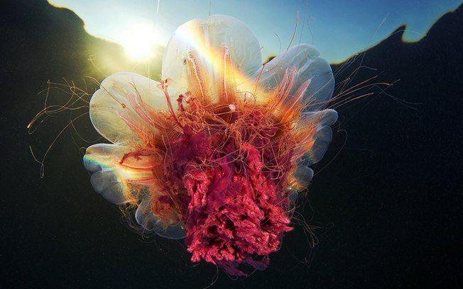 Biólogo captura o mundo de cores e formas das águas-vivas do Ártico