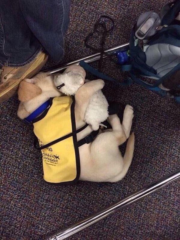 Служебные собаки в первый рабочий день служебные собаки, щенки, милота, длиннопост, собака
