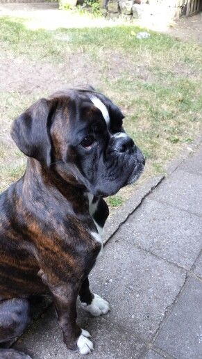 60 best cape may dogs birthdays images on pinterest for Brindle boxer