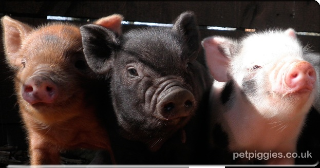 Micro Pigs | Pet micro pigs for sale | Micro Pig breeder in Ridgmont