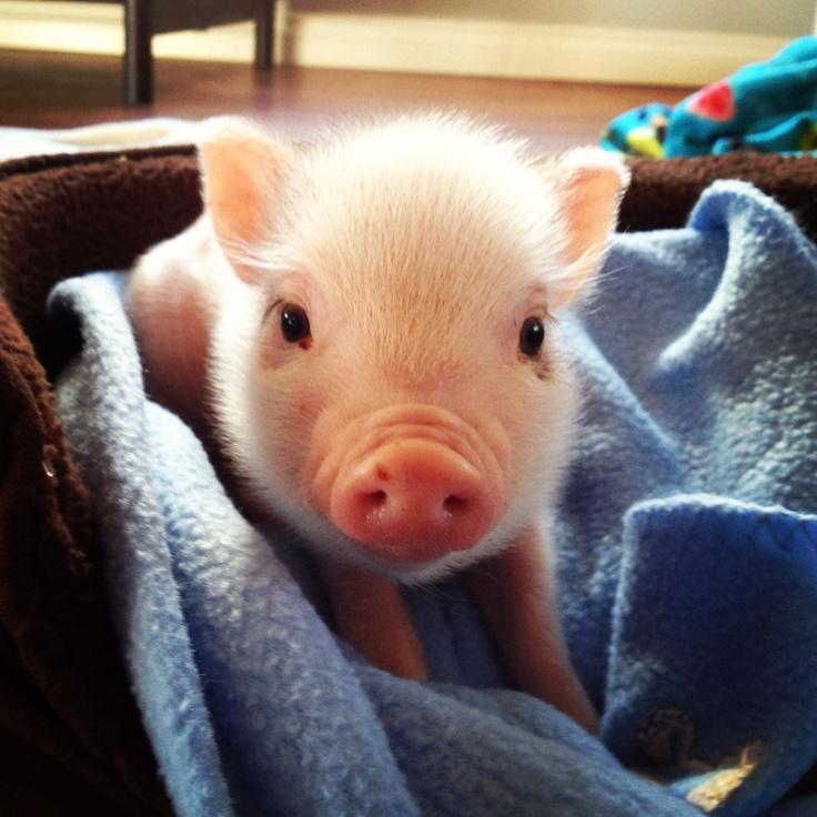 Little Piggies Mini Dog Treats
