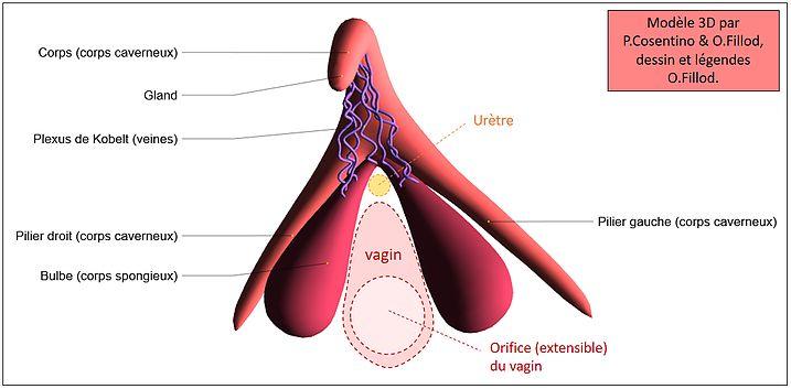 informations sur l 39 anatomie du clitoris et de ses bulbes chez l 39 tre humain impression 3d d 39 un. Black Bedroom Furniture Sets. Home Design Ideas