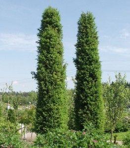 Juniperus communis Suecica