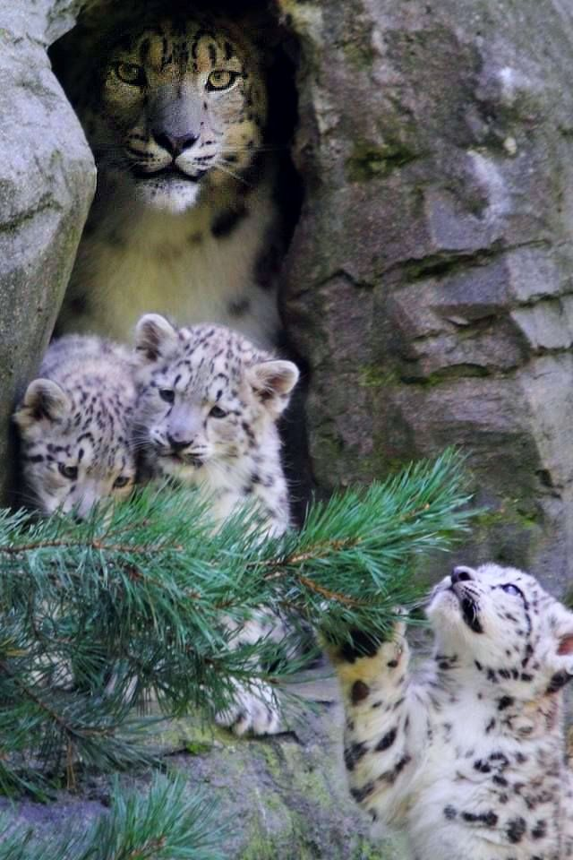 """""""Got My Eyes On You!!"""" - Snow #Leopard #provestra. (KO) Triplets! I can hear their mama groaning. But they are so cute!"""