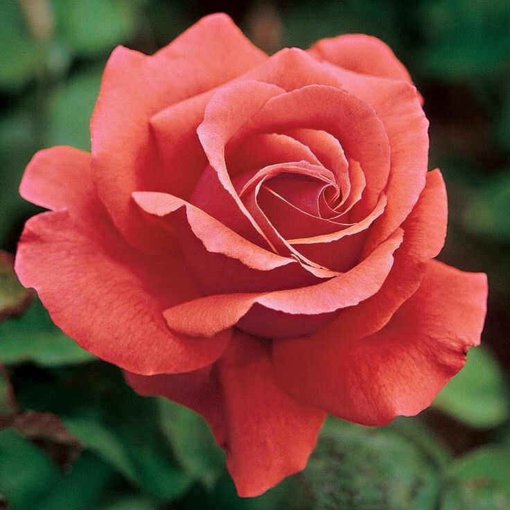 1877 best images about rosas on pinterest yellow for Amazing drawings of roses