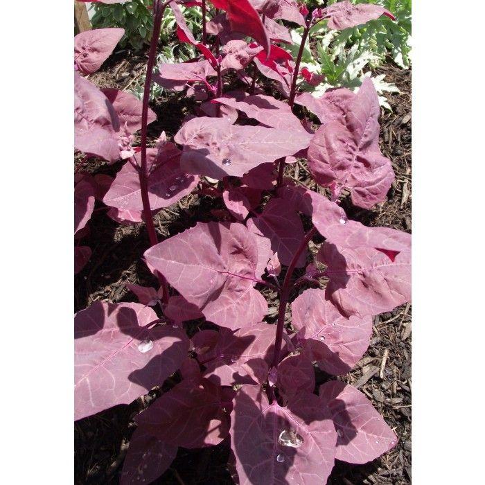 Arroche rouge - Herbacées   Cultiver l'abondance - Plantes vivaces comestibles pour le Québec, permaculture, aménagement paysager, agriculture urbaine
