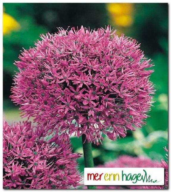 Allium aflatunense - Mer enn hage