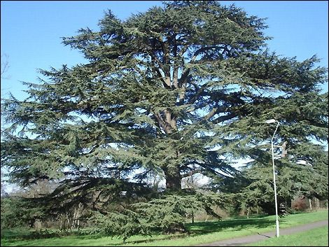 25 best ideas about lebanon cedar on pinterest cedar for Cedar credit