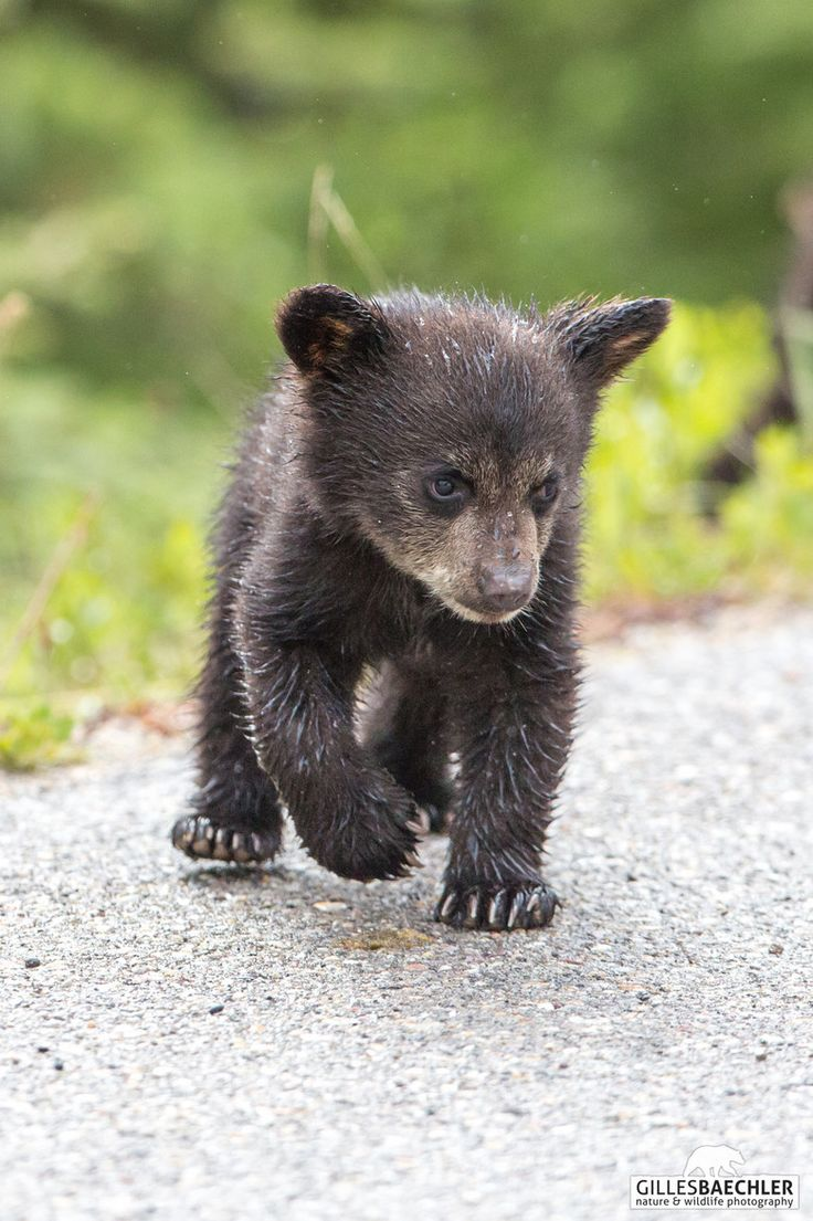 ~~Black bear cub by Gilles Baechler~~   BEAR   Pinterest