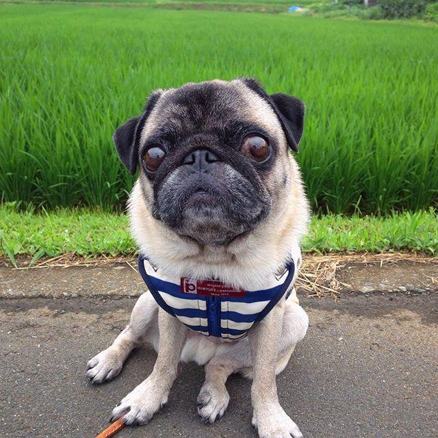 Morning walk Jul82015  #pug #puggy #puglife #puglove #petstagram #pugstagram #pugsofinstagram #pugs #dog #buhi #cafe  #鼻ぺちゃ #パグ #ふわもこ部  #ほぼ丸 #ほぼ黒パグ   雨が降る前に 朝んぽした 八兵衛さんは たぶん寝てるはず (留守番) by huxxi