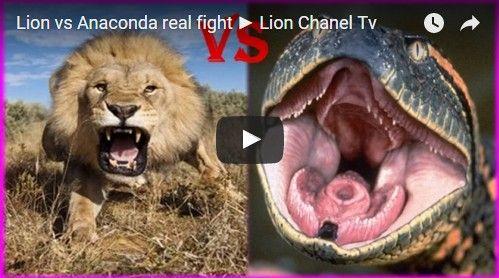 Beautifulplace4travel: Lion vs Anaconda real fight