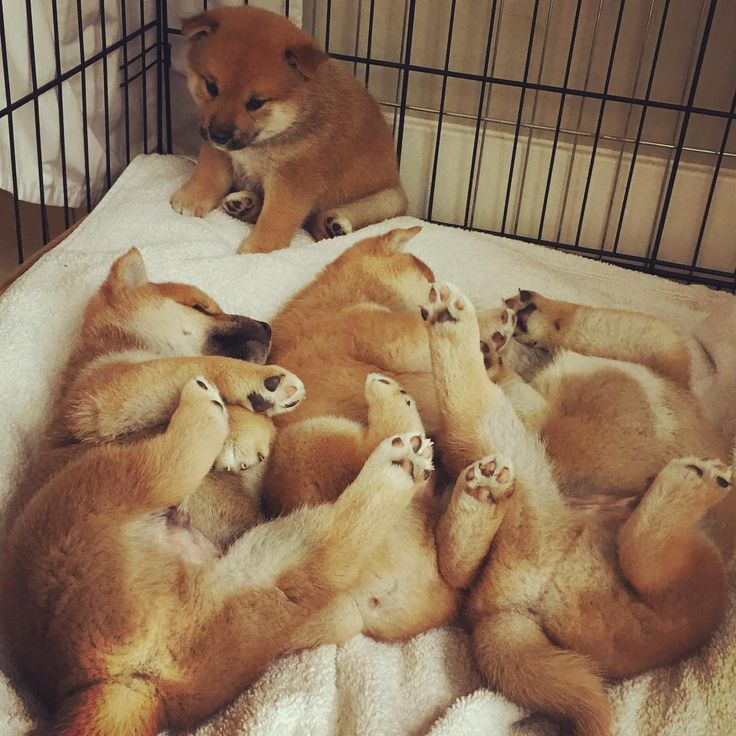 Best Images About 柴ちゃん On Pinterest Shiba Inu Puppies - Three shiba inus stick their heads through wall to greet passers by