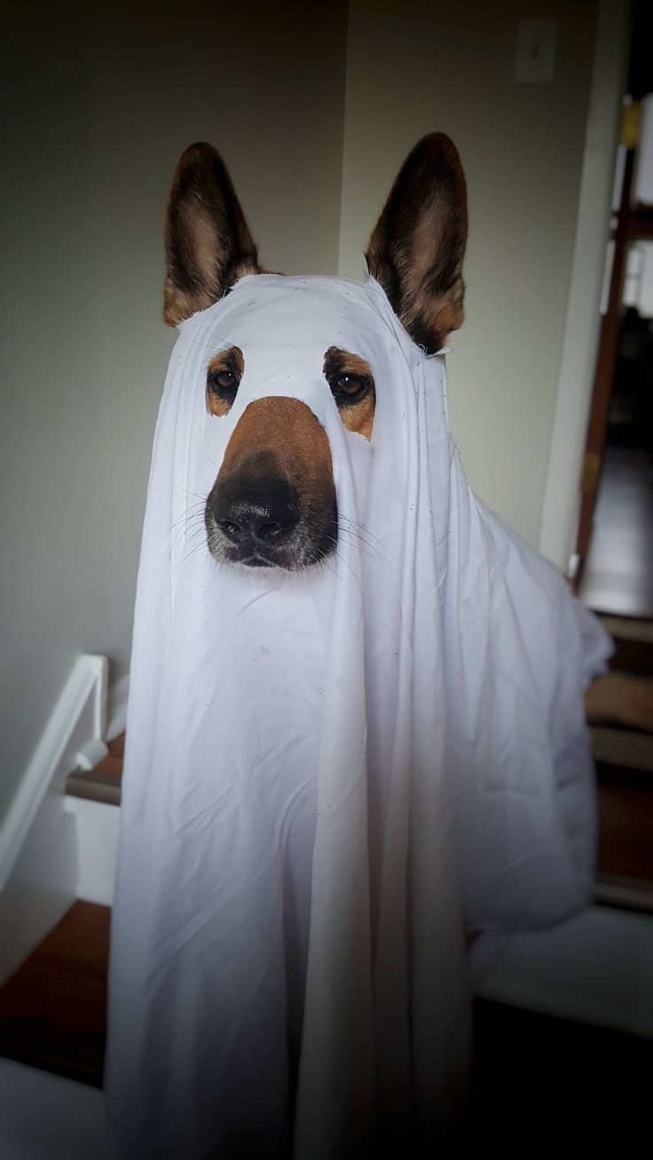 The 25+ best Dog ghost costume ideas on Pinterest