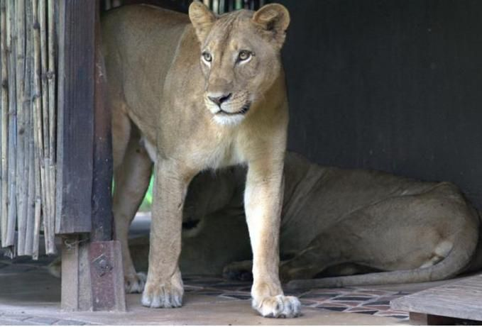 Lions visiting Mfuwe Lodge #ZambiaSafari #Safari2AfricaTravel