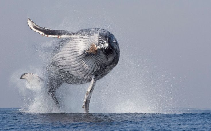 A humpback whale jumps out of the water in Port St. Johns, South Africa