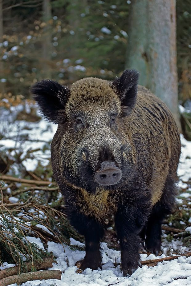 Best 20 Wild Boar Ideas On Pinterest No Signup Required