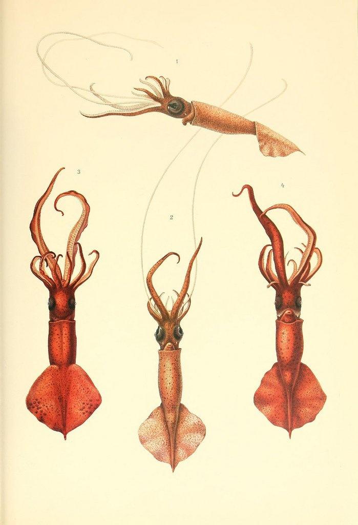 Dessins et illustrations de céphalopodes dessin illustration poulpe cephalopode 04 bonus