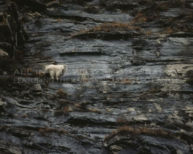 A CALCULATED RISK Canadian Rockies  While spending time in the Rockies near the Icefields Parkway,  I spotted this lone mountain goat high on a rock face. These goats are extremely proficient climbers and spend most of their time in seemingly precarious situations. Their agility on these rock ledges allows them to thrive in the Canadian Rockies!
