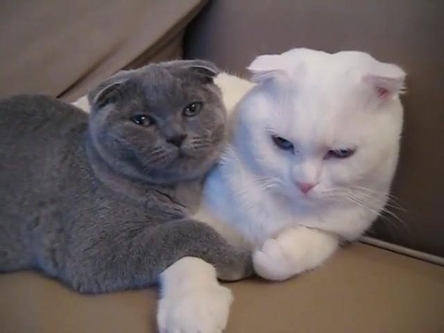 Scottish Fold White Cat And Grey Kitten Cat Scottish Fold Grey