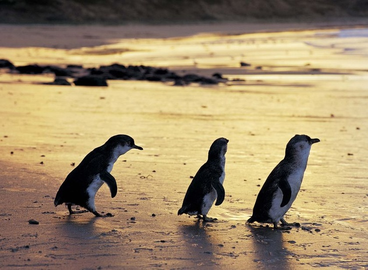 Every year, hundreds of tourists visiting remote islands off the Tasmanian coast are enchanted by the sight of little penguins - also known as fairy penguins - making their way across the sand dunes after dark towards their burrows.