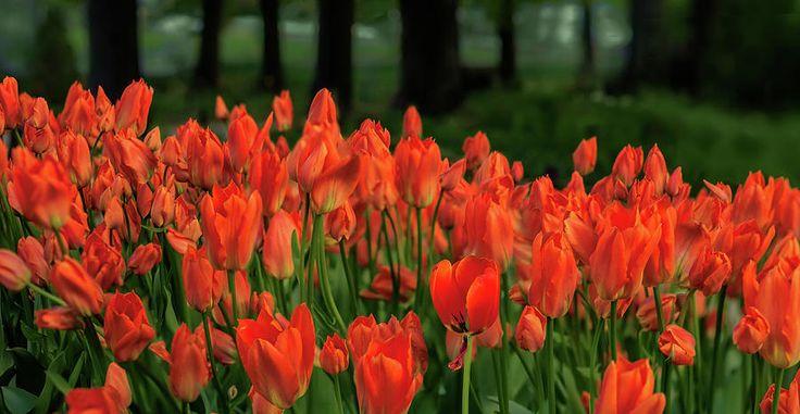 Tulip Photography - Flaming Tulips by Jane Star  #JaneStar #Tulips #Flower #Red #ArtForHome #InteriorDesign #HomeDecor #FineArtPrints