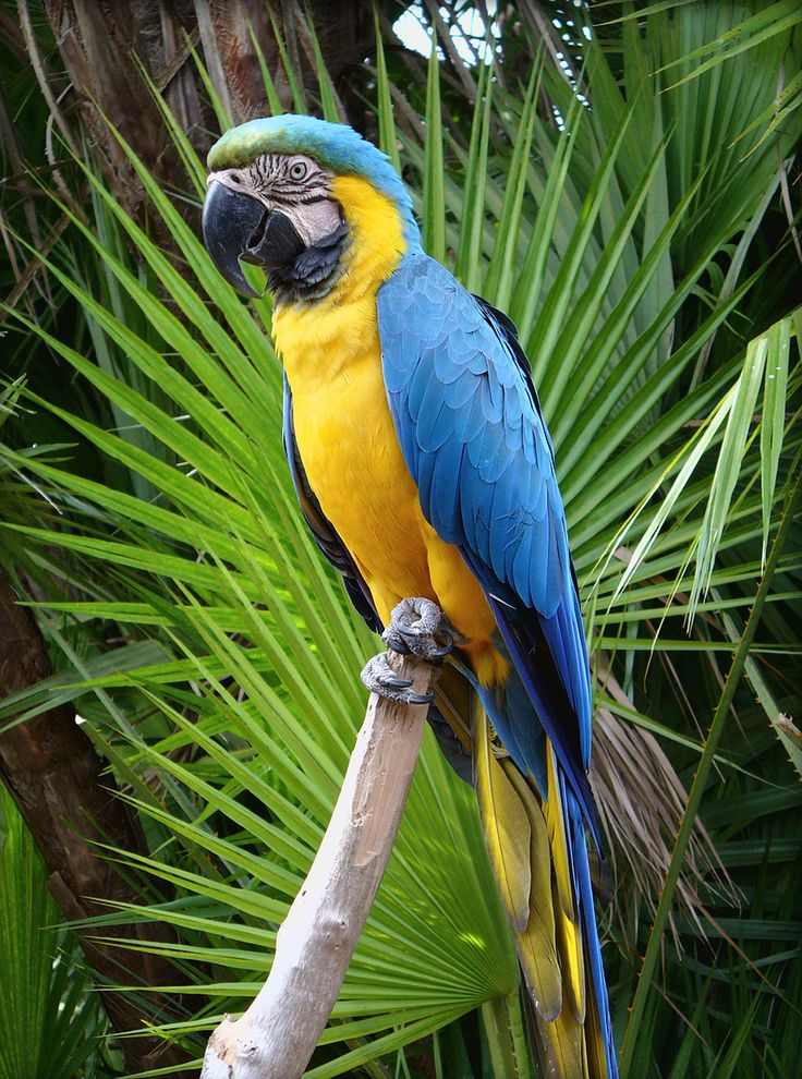 Blue and Gold Macaw or Blue and Yellow Macaw (Ara ararauna) Panama to Brazil, Bolivia and Paraguay