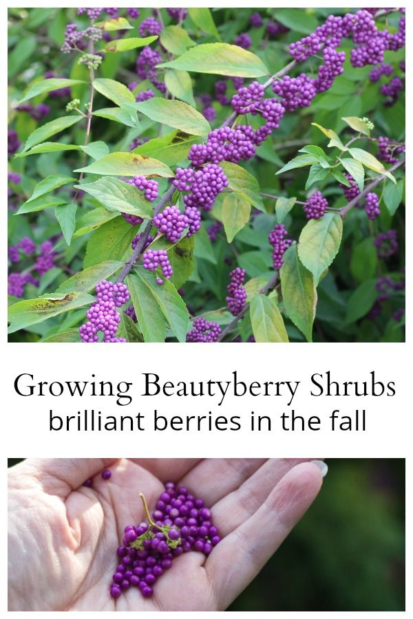 Growing Beautyberry Shrubs A Must Have In The Garden Creative
