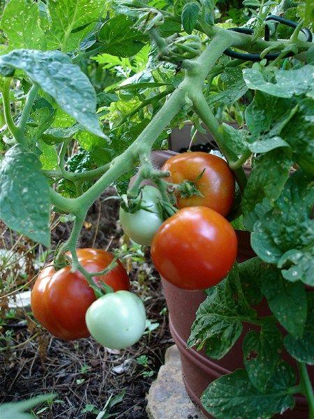 Bush Goliath Determinate Tomato Plant Symbols for Disease Resistance
