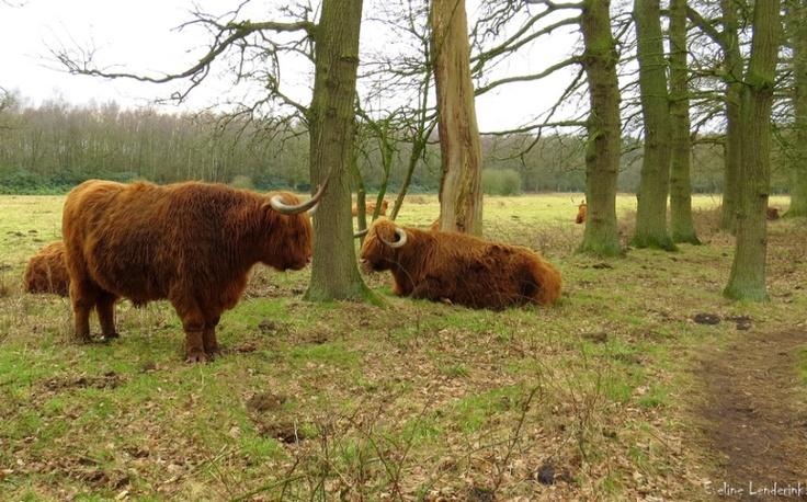 """Scottisch cattle at """" Witte veen """"  Haaksbergen .  Netherlands"""