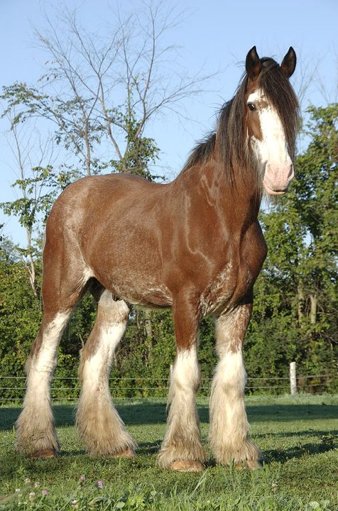 Clydesdale named Petey - by snaffles