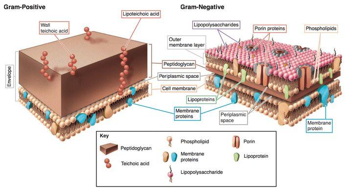Comparación de la membrana y pared celular entre un Gram positivo y Gram negativo